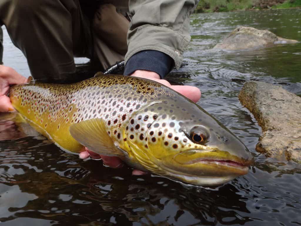 Ontario's Best Brown Trout Rivers