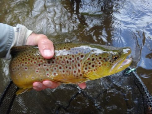 Brown trout from the Boyne river